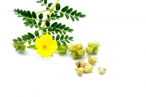 tribulus terrestris flower and fruits