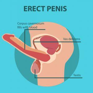 erect penis diagram