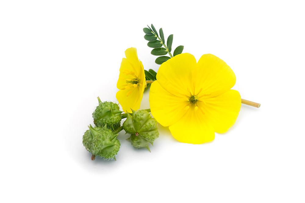 tribulus terrestris flower
