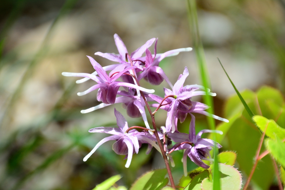 horny goat weed flower