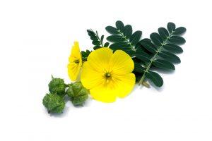 tribulus terrestris flower and fruit